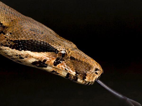 King Cobra Vs Boa Constrictor Dreager1 Com