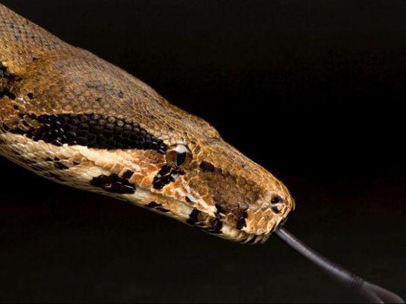 Boa Constrictor vs Rattlesnake