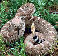 Snake Indigo Attack And Swallow Rattlesnake - Indigo Vs ... |King Snake Vs Rattlesnake