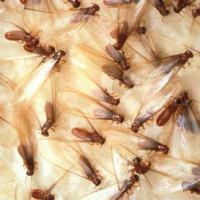 Real Black Widow vs Termite