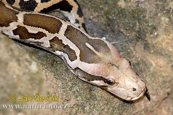 rock-python--python-molurus