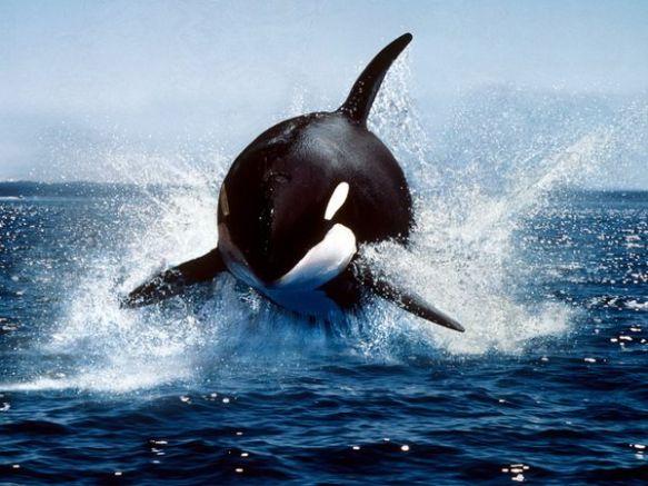killer-whale_591_600x450