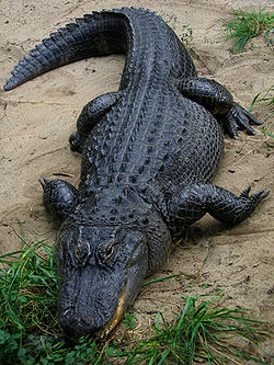 250px-American_Alligator