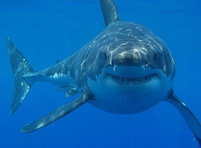 original-shark-pic