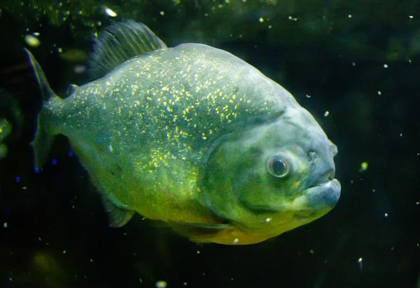 Piranha_fish