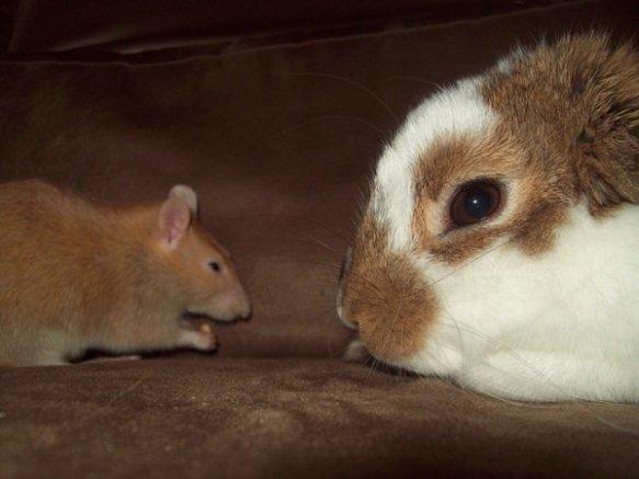 Rabbit_meet_Rat__by_futurepiratequeen