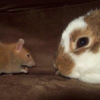Rabbit vs Rat