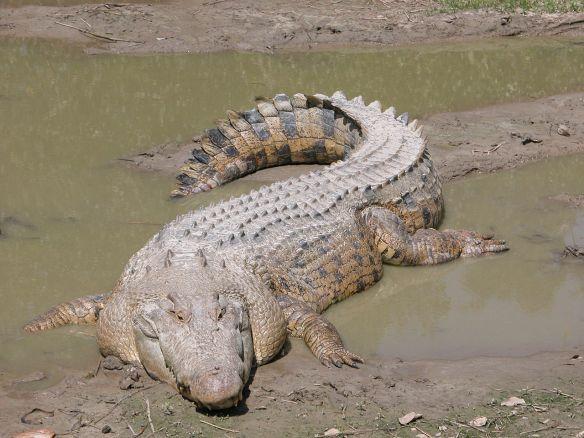 1280px-SaltwaterCrocodile('Maximo')